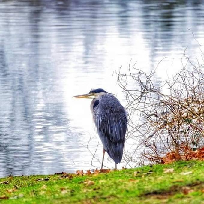 Great Blue Heron looking for breakfast