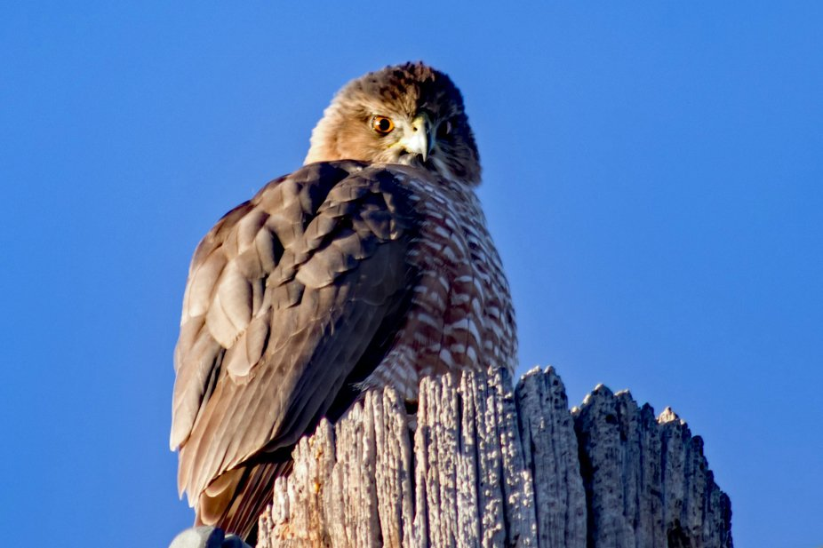 Such a delight to come across this young Cooper's Hawk just sitting up on the power pole.