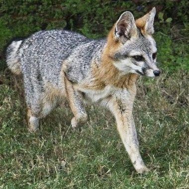 A young Texas Gray Fox on the move near Lake Travis, Texas.