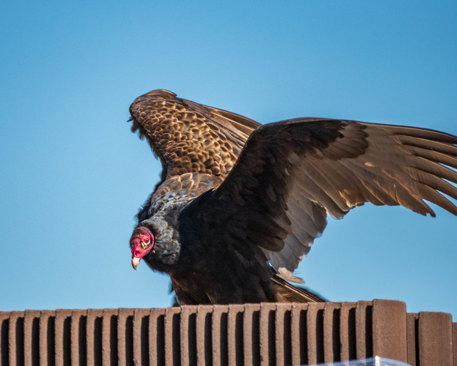 Turkey vulture #2