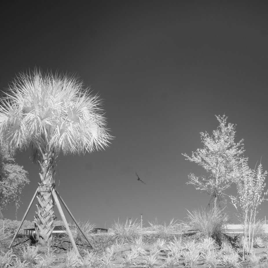 Two trees and a vulture - infrared