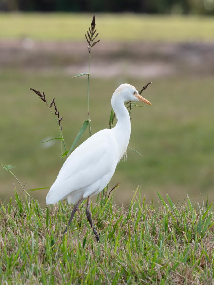 Cattle egret and tall grass