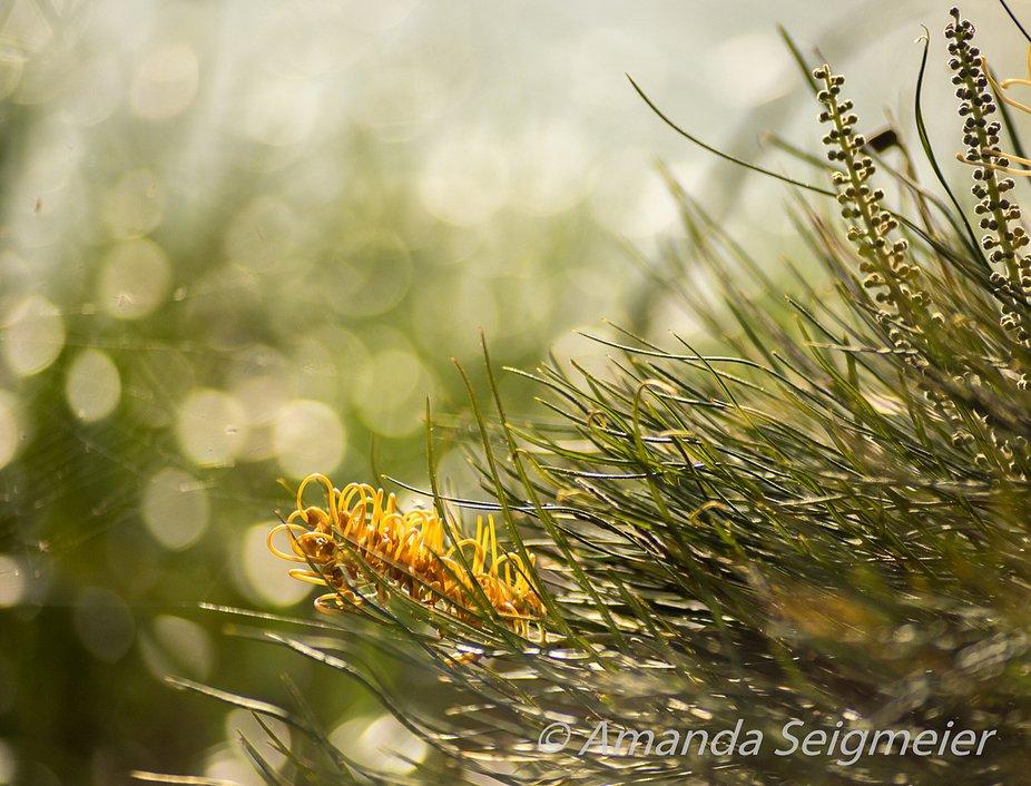 Grevillia, Australian Native Floweing Plant
