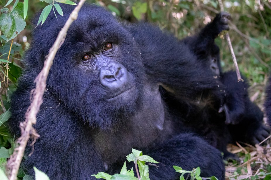 One of the female gorillas from the Muhoza group was very relaxed with me sitting nearby.  Her ve...