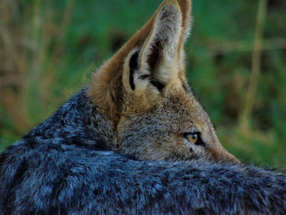 Early morning at Pilaansberg national park  Jackal scavenging for food whilst keeping a watchful ...