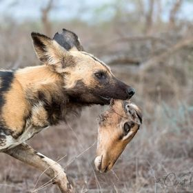 Painted Wolf or also known as the African Wild Dog runs off with the head of its kill