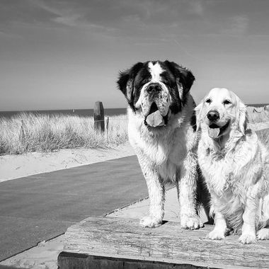 My dogs, Hebbes the Saint Bernard and Douwe, the golden retriever.