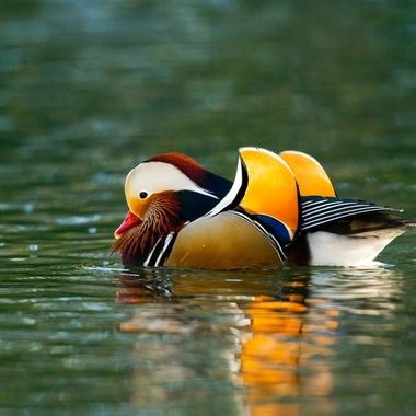 Mandarin Duck, male -08553