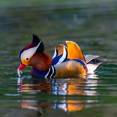 Mandarin Duck, male -08517