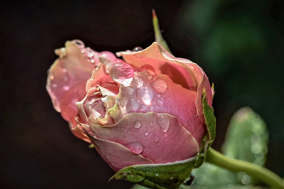 Rose (7) - Kissed By The Morning Dew