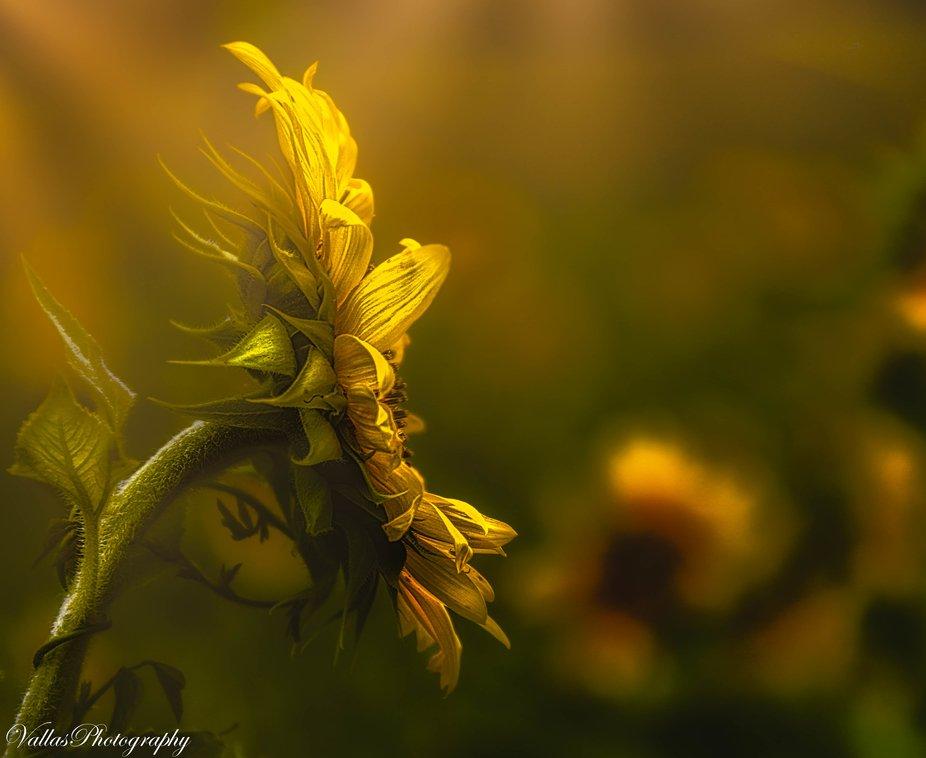 Truly a Sun Flower