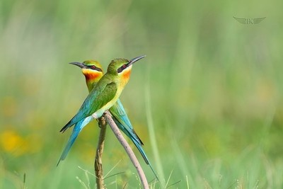 A pair of Blue-tailed Bee-eater's...
