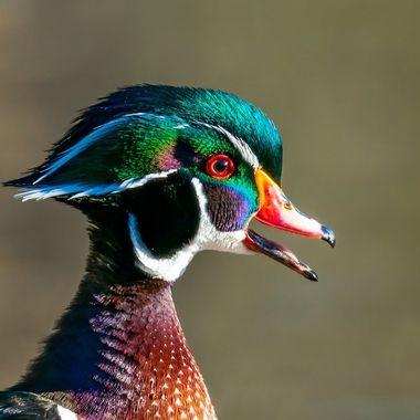 Wood Duck, male - 08133