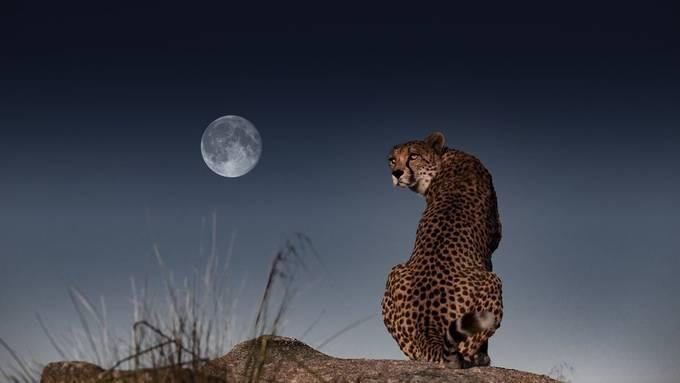 Cheetah and the MooN by Carlos_Santero - Safari Wildlife Photo Contest