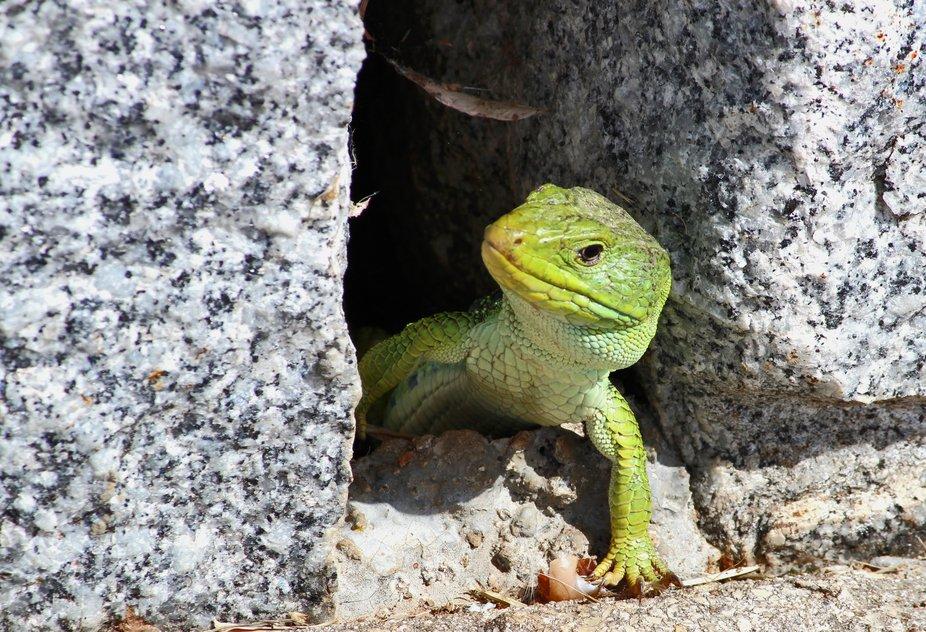 El lagarto ocelado es una especie de lagarto muy abundante en Galicia. Les gusta tomar el sol, so...
