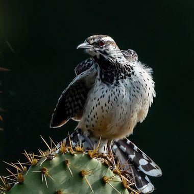 Cactus Wren -00622