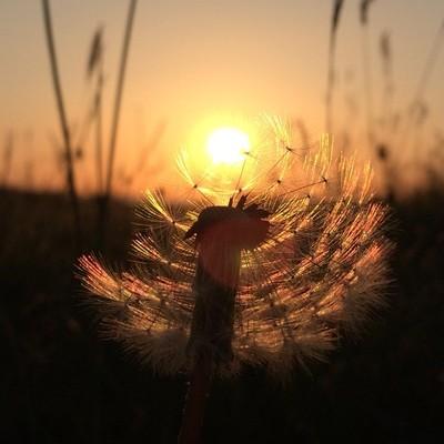 Sunset through a dandelion