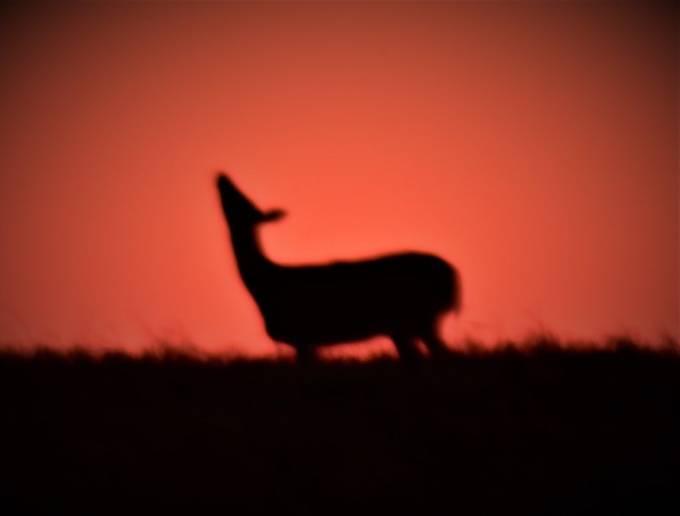 Shot at last light, whitetail doe standing on hillside. Nikon 3400 420-800 lens freehand