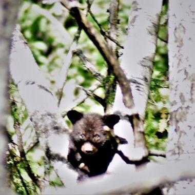 Baby bear resting in crotch of popple tree after a long climb. Nikon D3400 420-800 lightdow lens