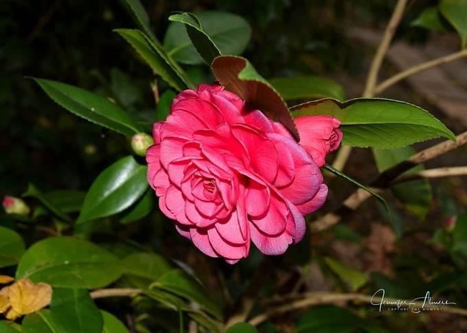 Camellia and Bud