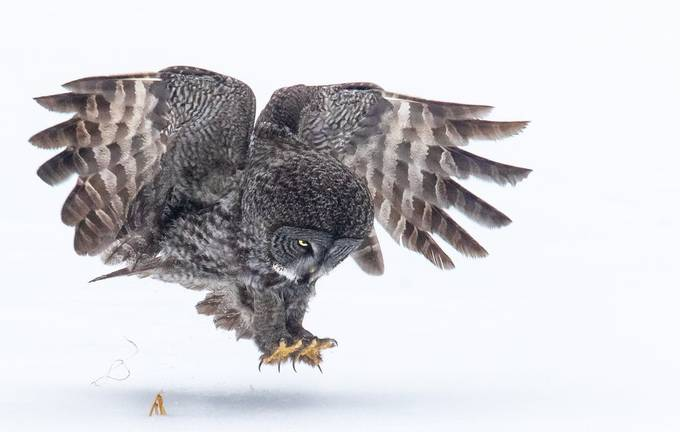 Great Grey On The Hunt by kellymarquardt - Winter Wildlife Photo Contest
