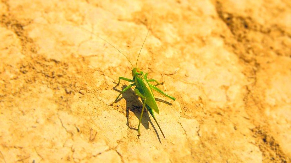 grasshopper copy