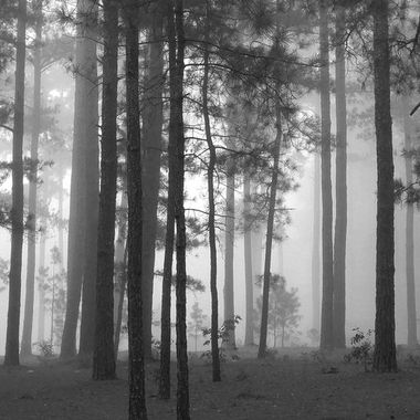 The forest in black and white