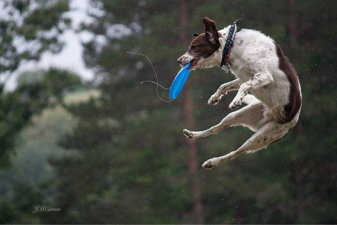 Disc drool by JCurr - Dogs In Action Photo Contest