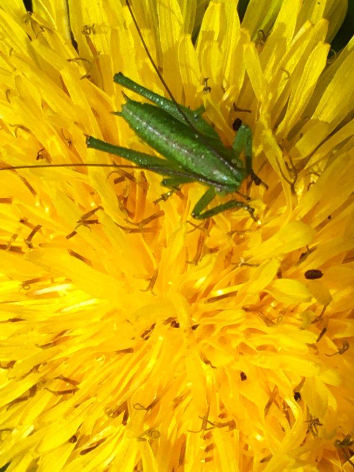 Macro shot of cricket on daisy