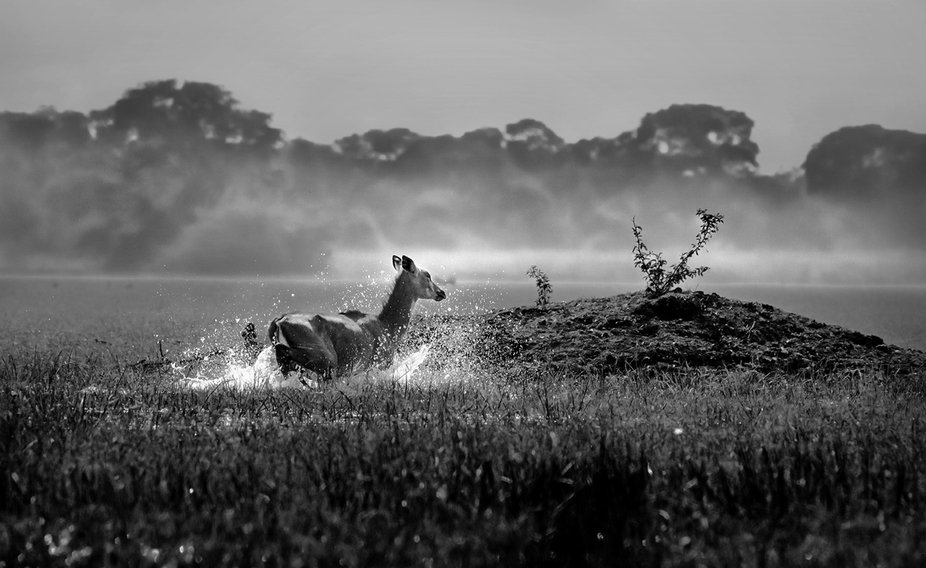 This image was taken at keoladeo National park where i decided to take the shot by stalking and g...