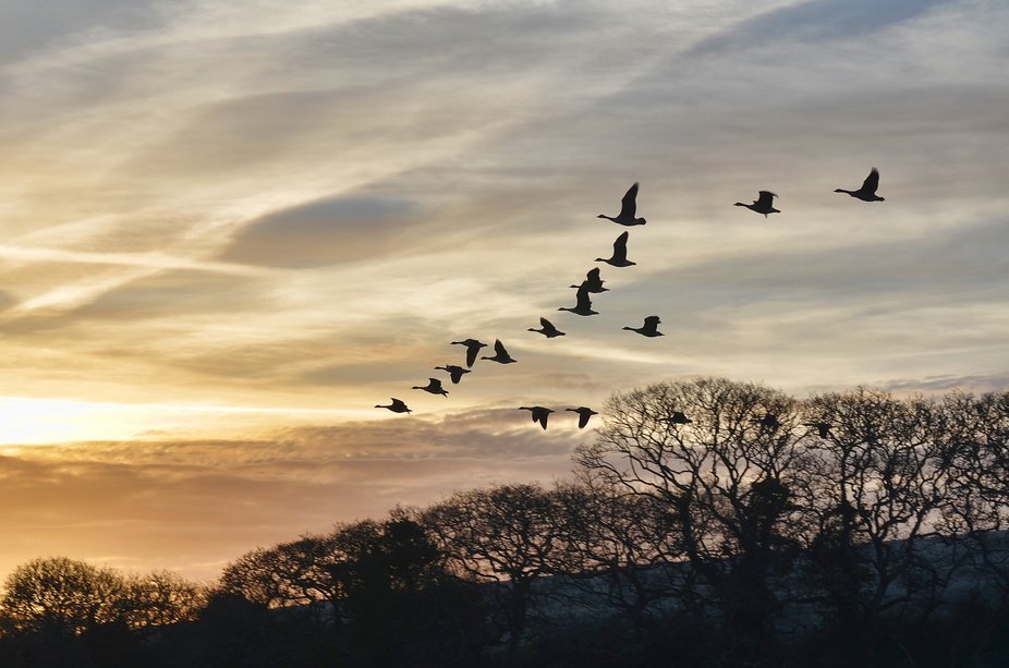 Canada Geese, doing their dawn 'Flypast'