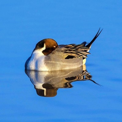 Pintail Reflection