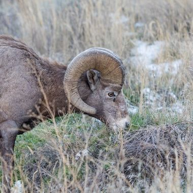 Bighorn Ram near Spences Bridge