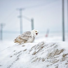 A female Snowy Owl issues a warning cry to another female Snowy Owl that has entered her territory.