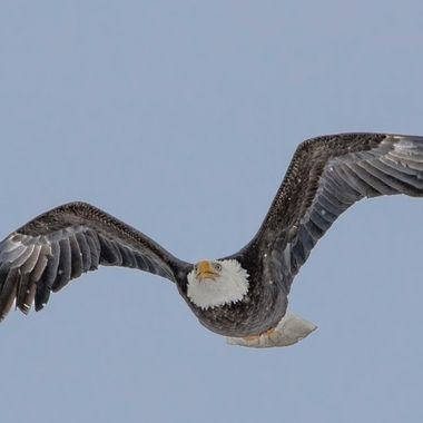 No Eagle