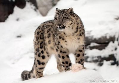 Snow Leopard,
