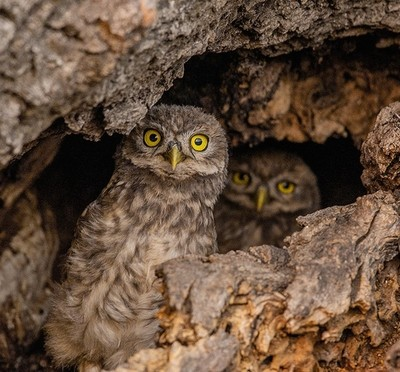 Little owl in the nest...