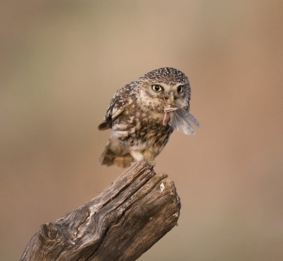 Owlet with insect