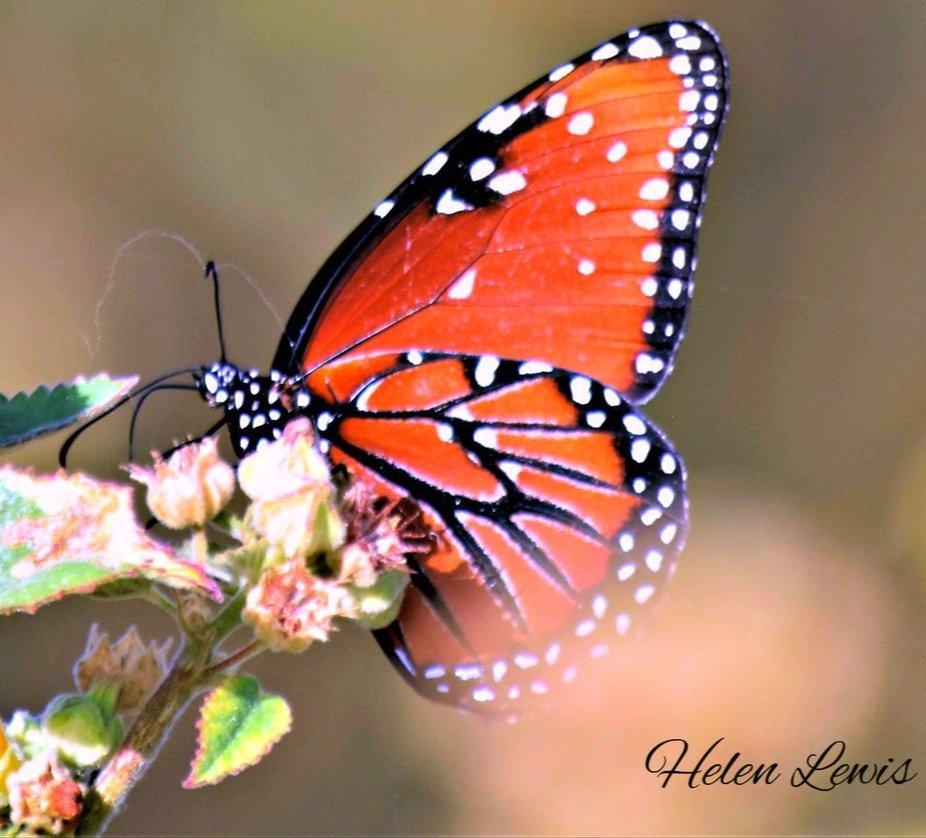 Male Milkweed Butterfly