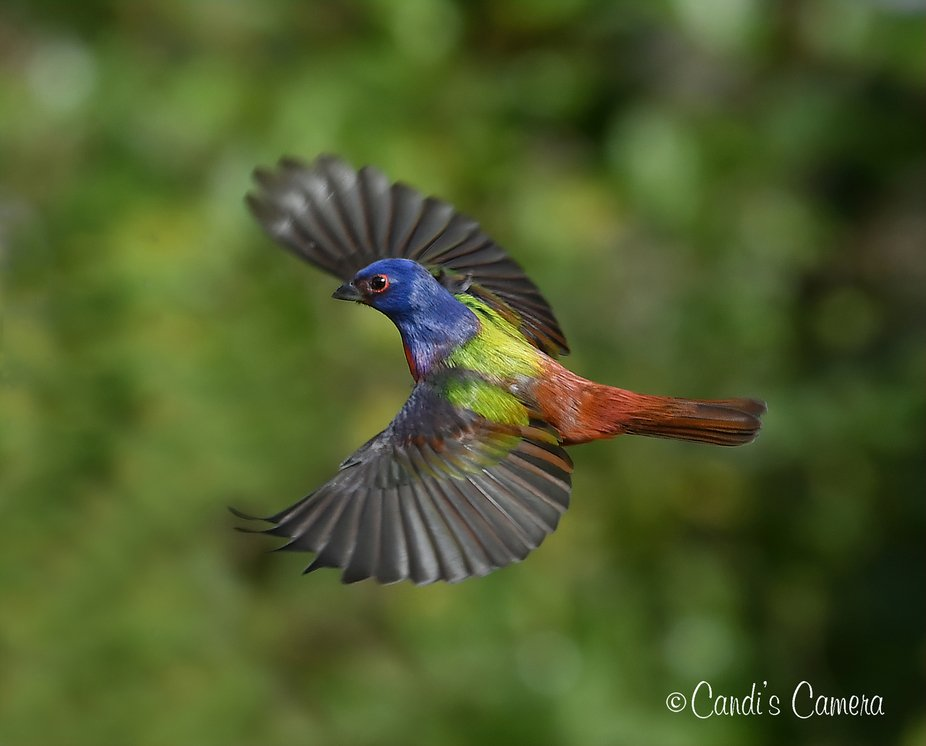 Painted Bunting Male in Flight