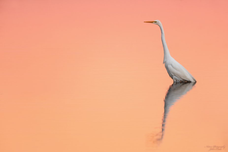 I used the reverse sunset sky for the reflection on the water and this give the egret a soft ligh...