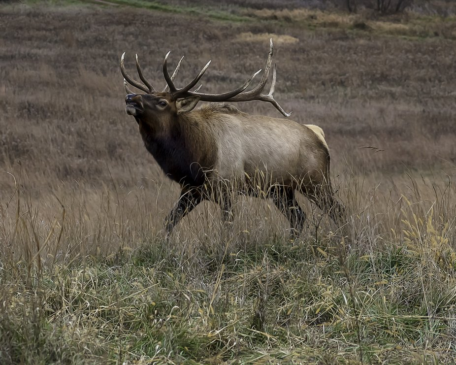 Old Bull Elk showing some attitude