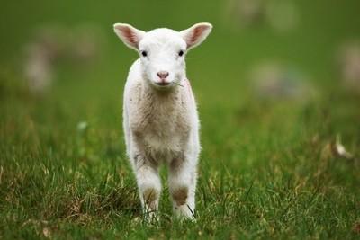 early lamb