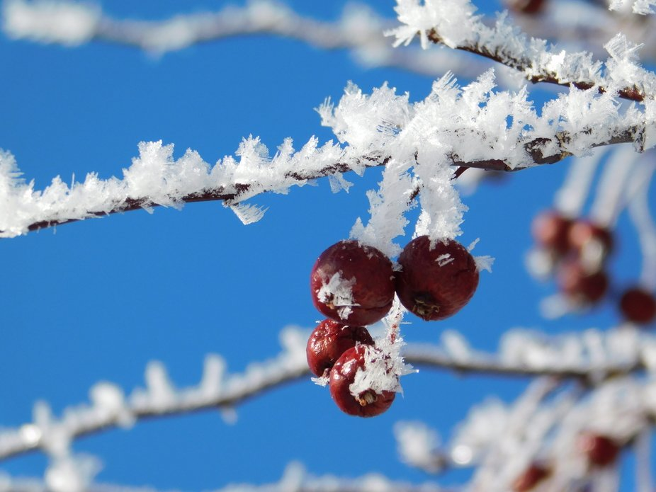 Icy Canadian Cherry Tree Branch