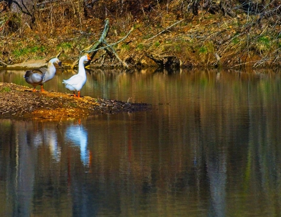 The winter sun is harsh.  This was shot on a walk around.   These Geese just posed for me.