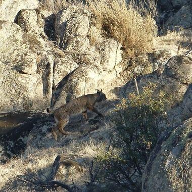 Lince iberico (wildlife) en la Siera de Andujar (Jaen-Spain) ,animal emblematico de España en peligro de extincion