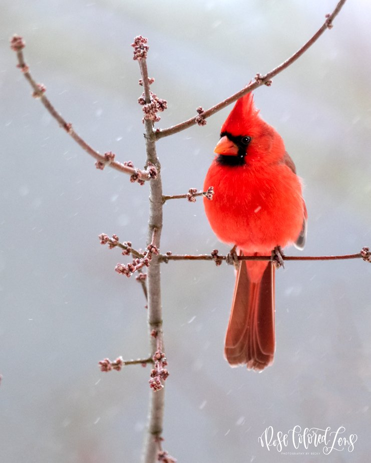 Mr. Cardinal in the snow