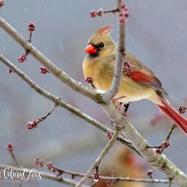 Mrs. Cardinal in the Snow