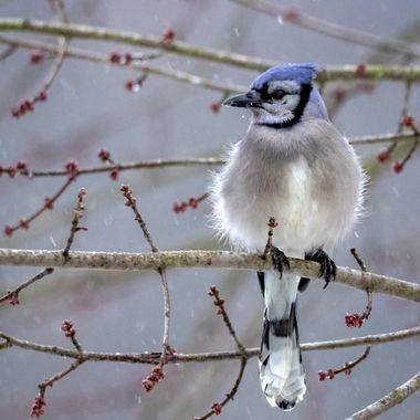 Fluffy Blue Jay