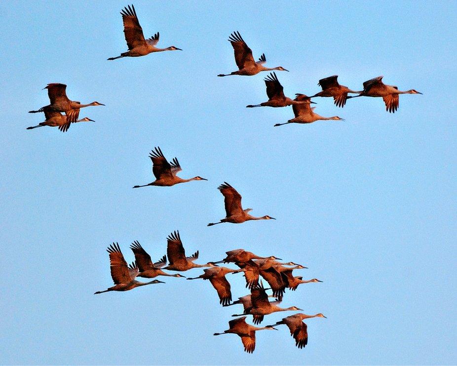 Sandhill Crane Migiration